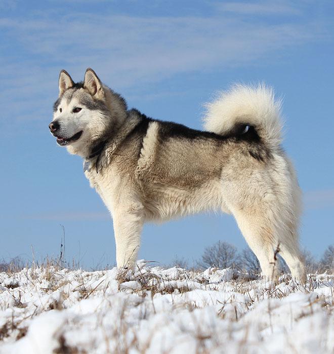 Az alaszkai malamut általános megjelenése