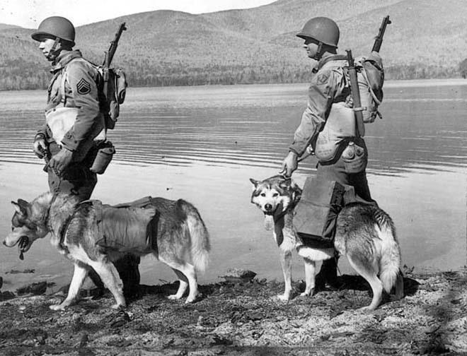 Katonai teherszállító malamutok szolgálatban, a II. világháború idején